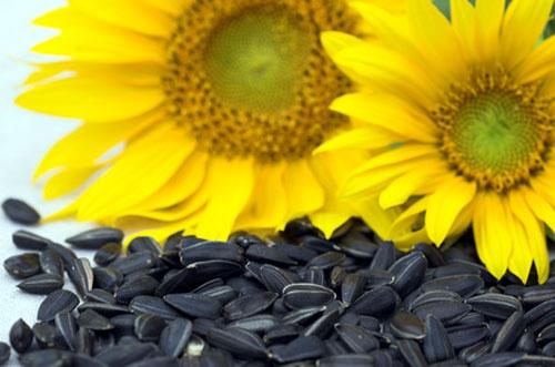 Семечки Добрыня купить калиброванная подсолнуха добрыня оптом, купить отборные калиброванные семечки добрыня
